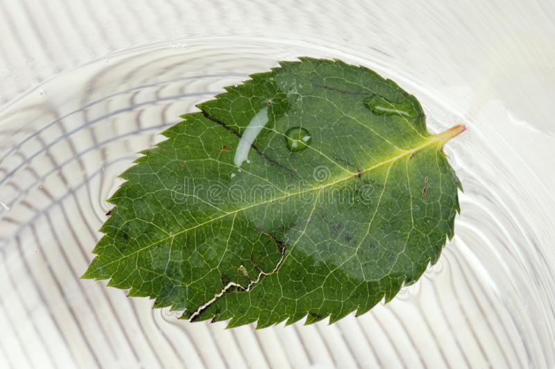 Download Fallen down leaf of a rose stock image. Image of grow - 13768669