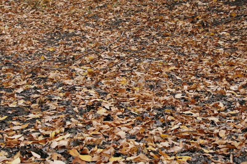 The fallen down leaves of a maple cover. With warm colours of autumn the ground stock photos