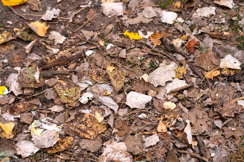 Fallen dry maple leaves are lying on the ground. Autumn background texture.  stock photos