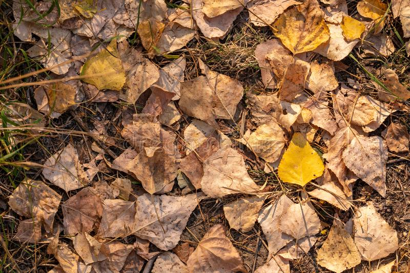 Fallen dry maple leaves are lying on the ground. Autumn background texture.  royalty free stock image