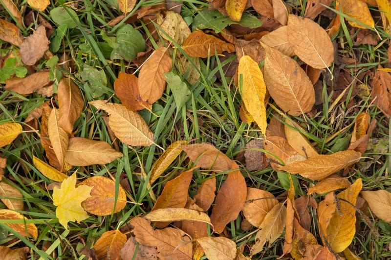 Fallen dry yellow autumn leaves in grass texture. Fallen dry yellow autumn leaves in green grass background texture royalty free stock photos