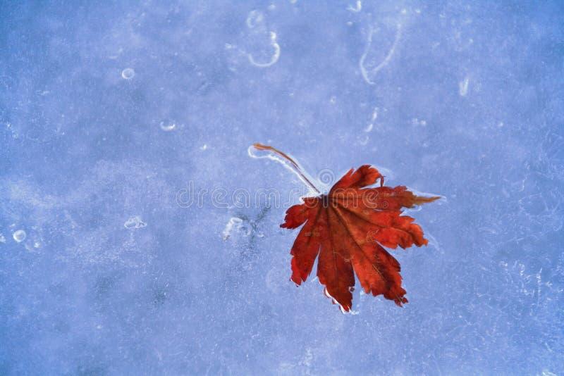 fallen fryst leaflönn arkivbilder