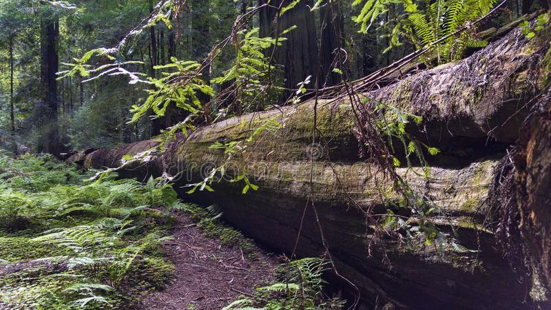 Fallen Giant Redwood Forest Tree stock images