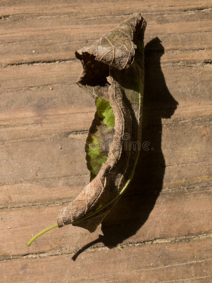 Fallen Leaf. Dried and curled up old leaf fallen on to a boarded walkway, reflecting the cycle and recycling of life stock photography
