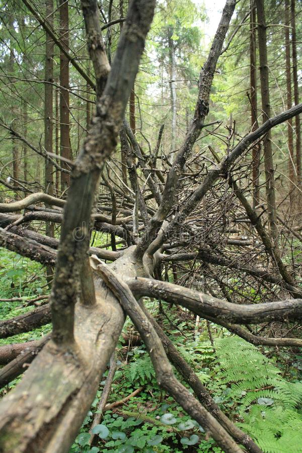 Fallen leafless tree with dry branches. Fallen leafless tree with bare branches lying on the grass in the forest in Moscow region in summer after storms royalty free stock photos