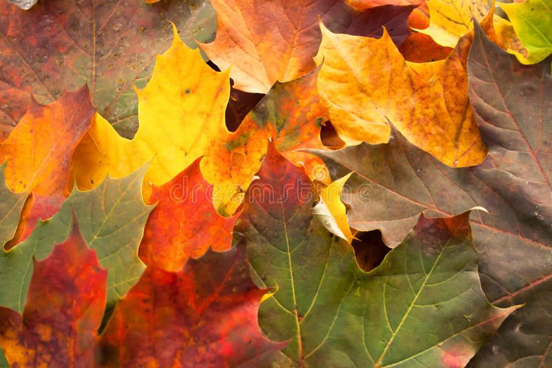 Fallen leaves in Autum royalty free stock images