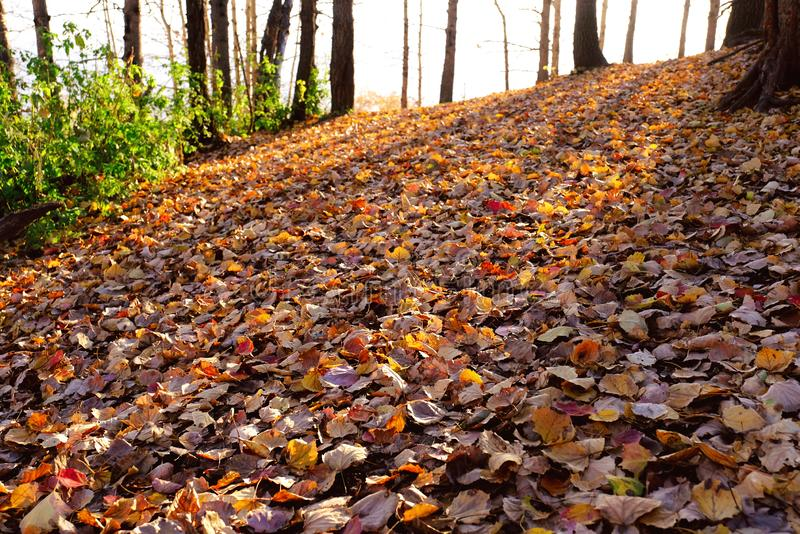 Fallen Leaves Autumn Forest. Fallen leaves in autumn forest in the soft light of setting sun; natural outdoor background royalty free stock photo