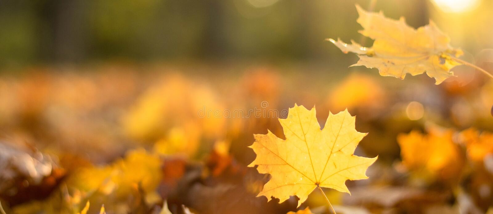Fallen leaves in the autumn forest in sunny weather. Background with copy space. Thanksgiving Day mood banner.  stock image