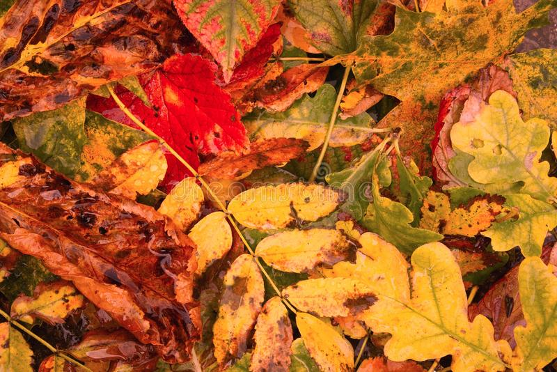 Fallen leaves of autumn. A variety of fallen leave`s of autumn wet from the wind and rain