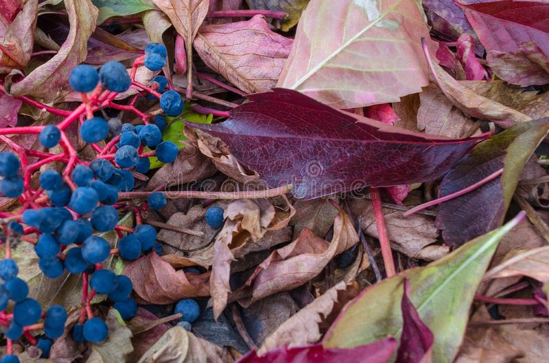 Fallen leaves, autumnal tints royalty free stock photo