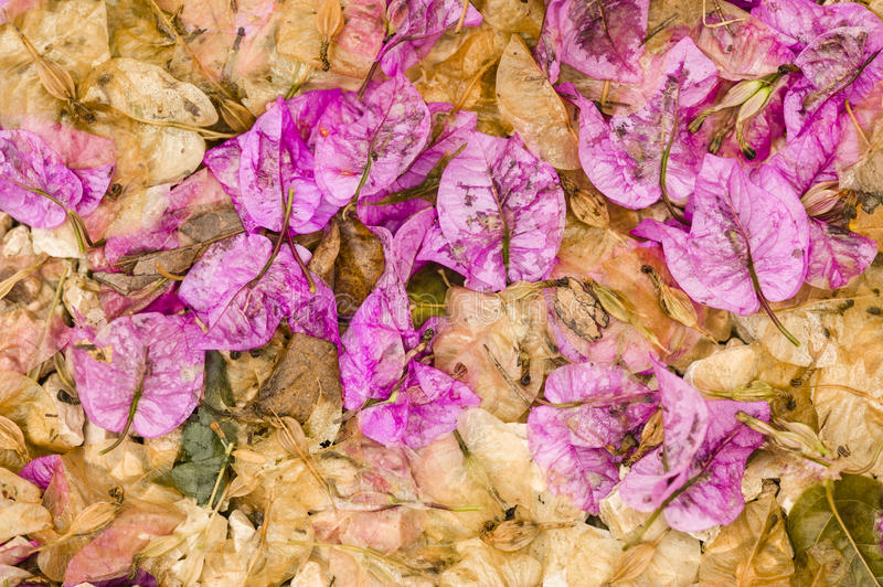Fallen leaves and flowers of Bouganvillea. Plant stock photography