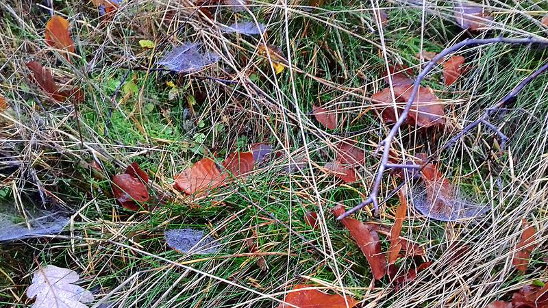 Fallen leaves on the grass. The onset of autumn. The grass has already faded stock photos