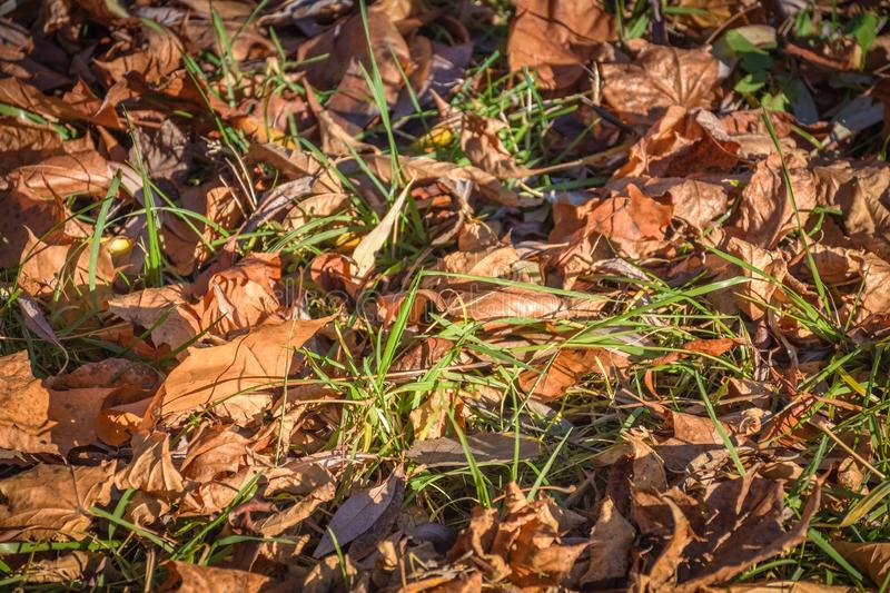 Fallen leaves in green grass close up stock photos