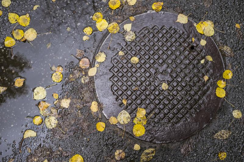 Fallen leaves lie on the wet asphalt and the metal cover of the. The fallen yellow leaves lie on the wet asphalt and the metal cover of the sewer stock images