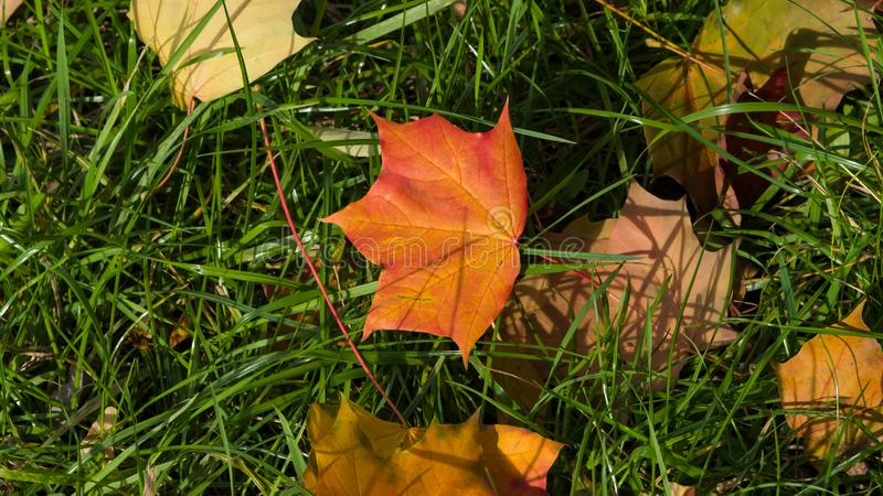 Fallen leaves of Norway Maple or Acer platanoides in autumn with grass background, selective focus, shallow DOF.  royalty free stock images