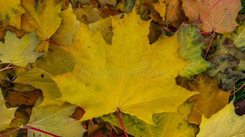 Fallen leaves of Norway Maple or Acer platanoides in autumn texture background, selective focus, shallow DOF.  stock photos