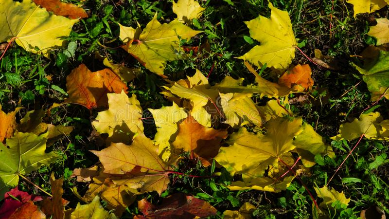 Fallen leaves of Norway Maple or Acer platanoides in autumn texture background, selective focus, shallow DOF.  royalty free stock images