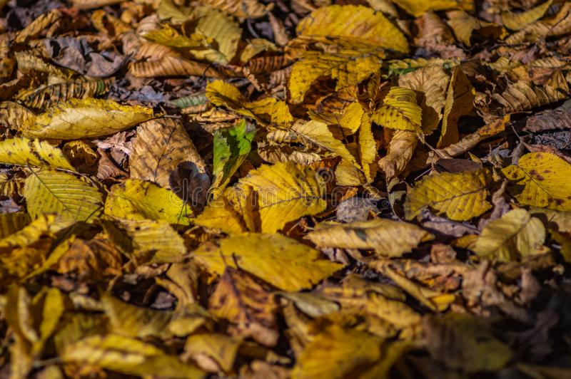 Fallen leaves on the road. In autumn afternoon royalty free stock photo
