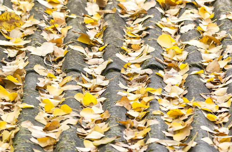 Fallen leaves on the roof of the tiles. Yellow fallen leaves on the roof of the tiles stock images