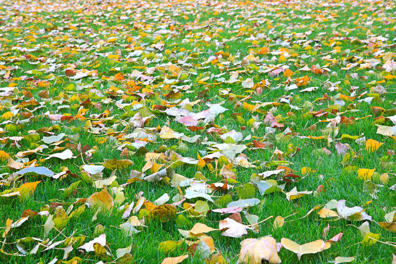 Fallen leaves from trees on the shorn grass. Lawn royalty free stock image