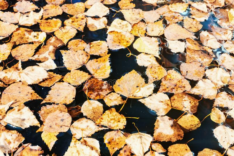 Fallen leaves in the water. Autumn leaves background.  royalty free stock images
