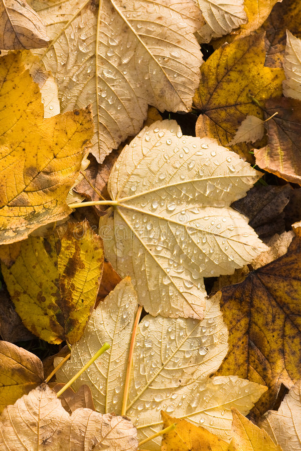 Fallen leaves with waterdrops. Yellow fallen leaves with drops of water in the sun royalty free stock images