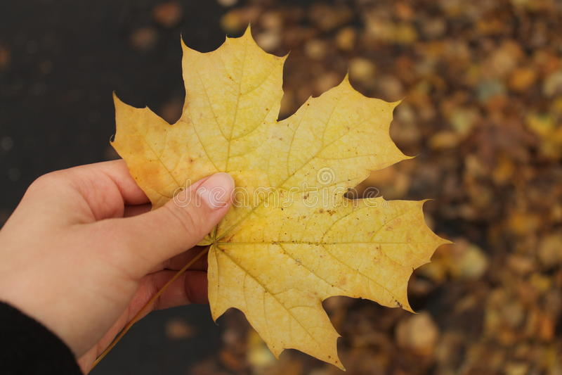 Fallen maple leaf. Hand holds a fallen maple leaf stock image