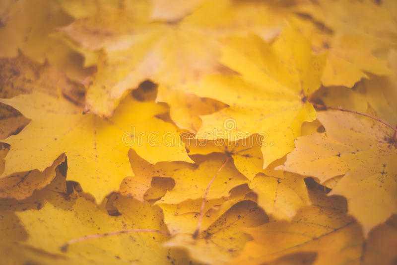 Fallen maple leaf pile stock photography