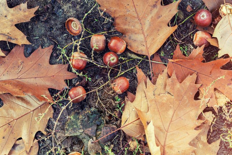 Fallen oak leaves and acorns on green grass in city park or forest at early autumn season. Beautiful bright  natural fall royalty free stock photography