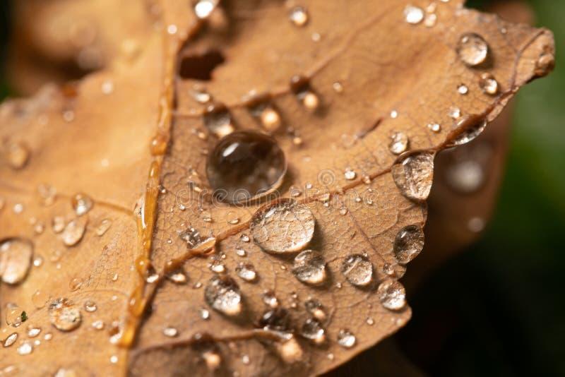 Fallen oak leaves with dew. Autumn oak leaves.water drops on fall oak leaves closeup. Dry Autumn Oak Leaf Covered by Water Drops royalty free stock photos