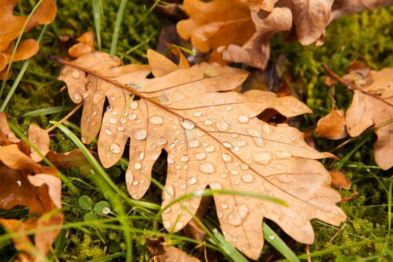 Fallen oakleaf arkivfoto