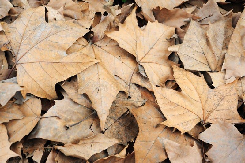 Fallen phoenix tree leaves royalty free stock images