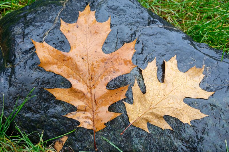Fallen pin oak leaves in the autumn rain on a black granite stone, raindrops on the leaves, cloudy weather. Moscow, Russia stock photo