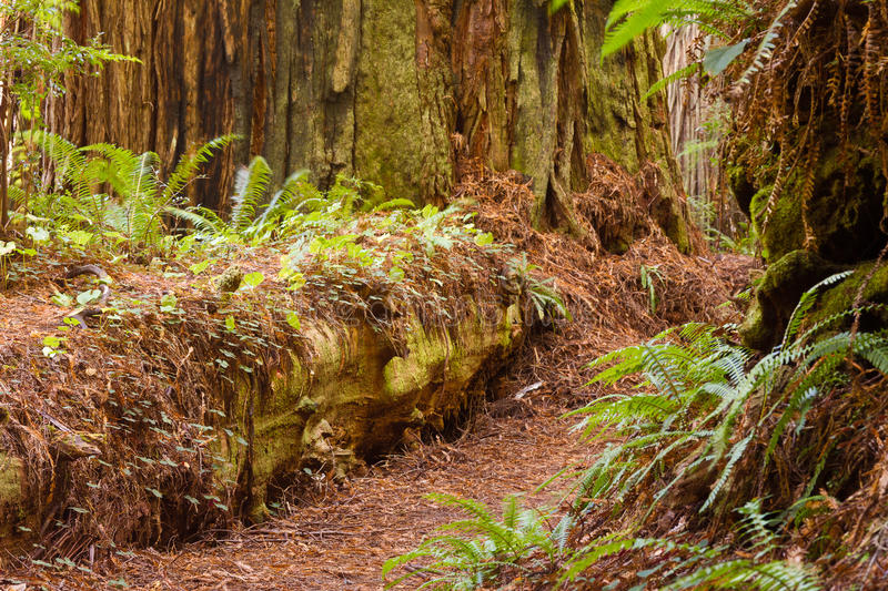 Fallen redwood log and path royalty free stock photo