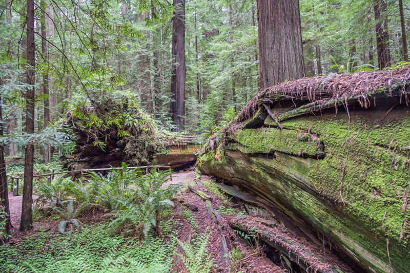 Fallen Redwoods royalty free stock photos