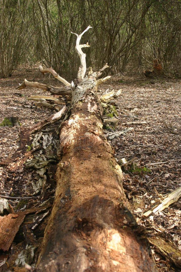 Fallen rotting tree. Trunk decaying on the woodland floor with broken branches and bark surrounding it. Background of coppiced trees stock image