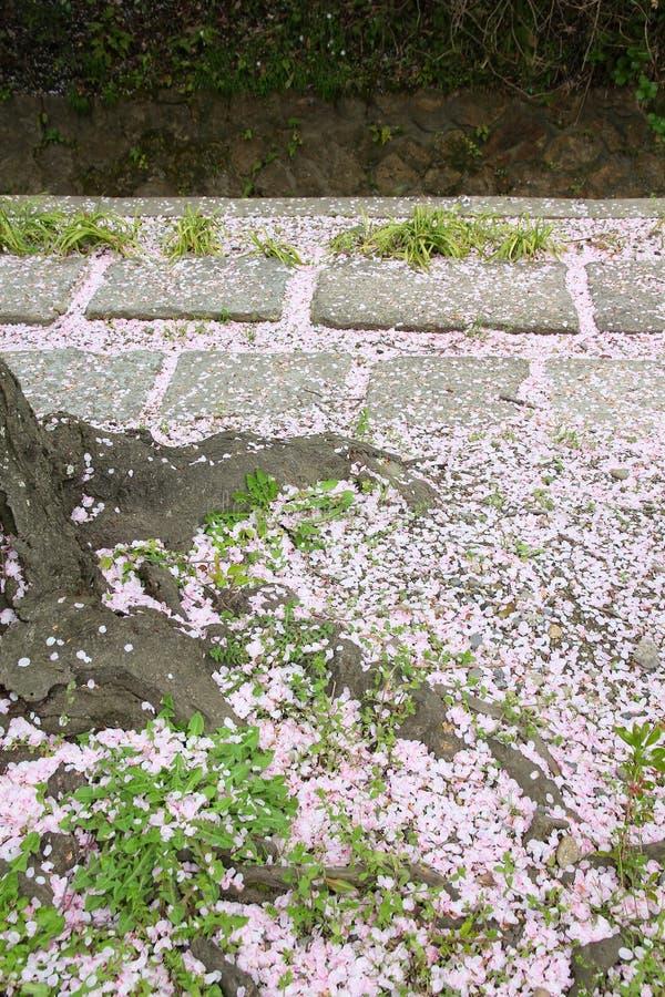 Fallen sakura petals. Fallen sakura blossoms on Philosopher's Path in Kyoto, Japan royalty free stock photography