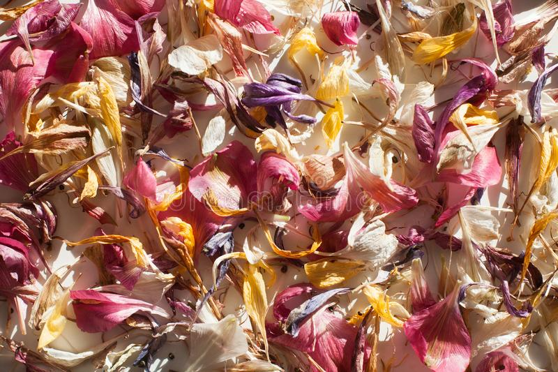 Fallen scattered colored flower petals background close up, delicate pink, yellow, white, purple flowers petals backdrop macro stock image