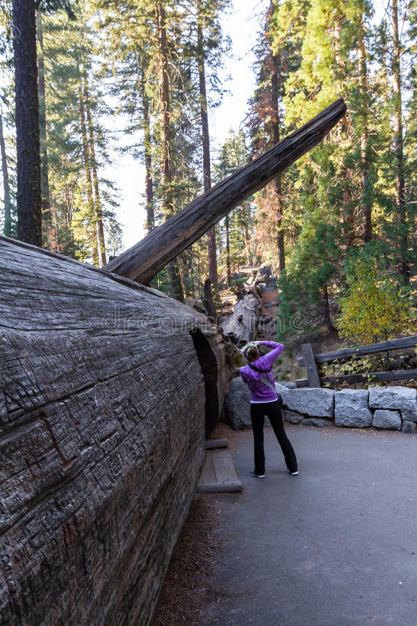 Fallen sequoia with a tunnel royalty free stock photography