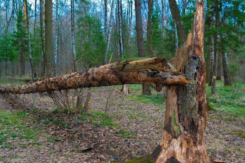 fallen skogtree arkivfoto