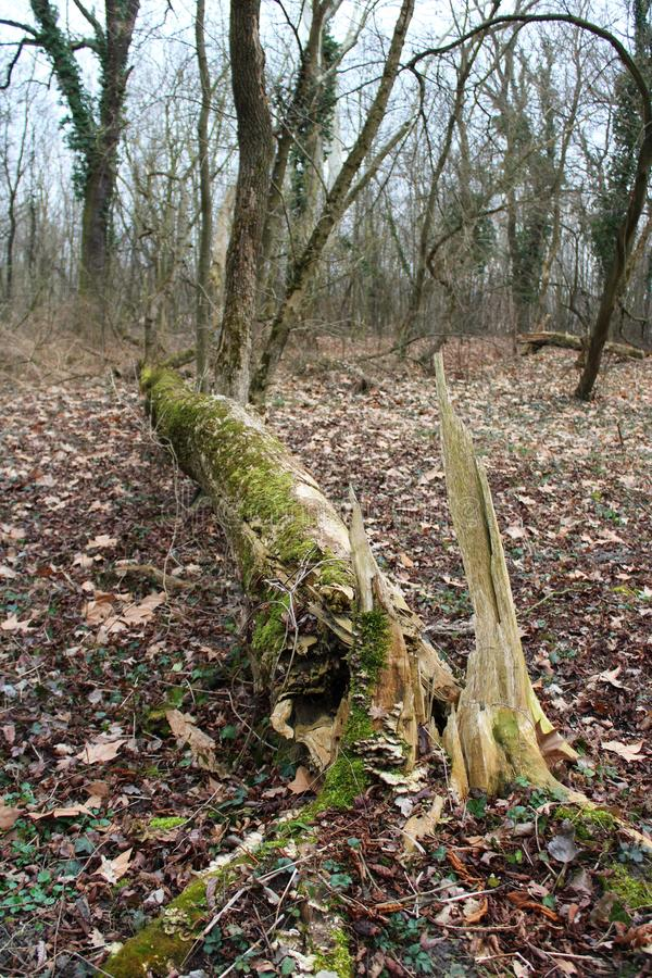 A fallen tree royalty free stock photography