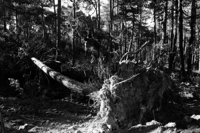 Fallen tree in black and white royalty free stock image