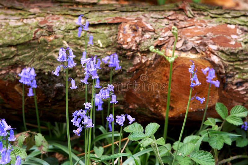 Fallen tree and bluebells. Several wild hyacinths growing around a fallen tree stock photo