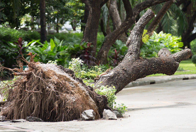 Fallen tree cratered in ground royalty free stock image