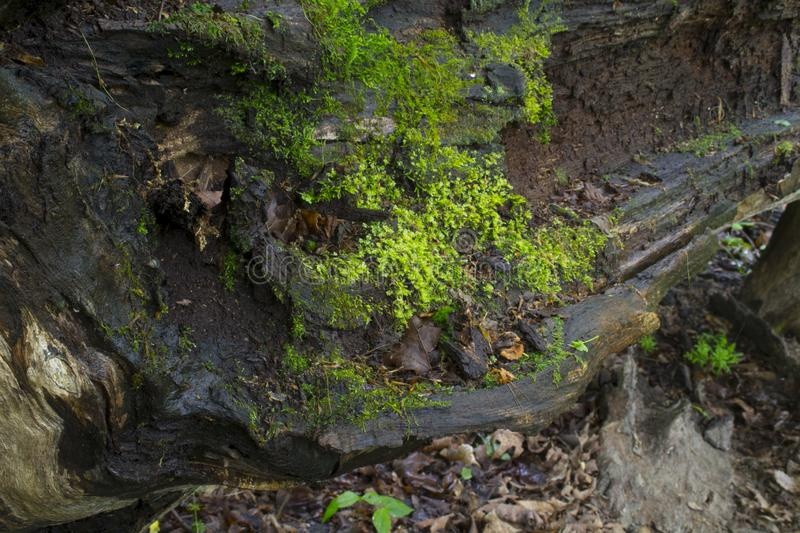 Fallen tree detail with moss royalty free stock photography