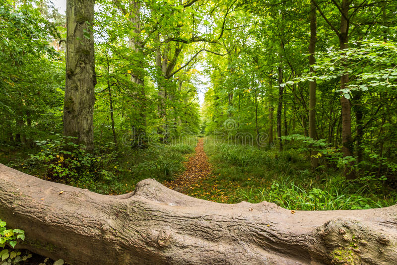 A fallen tree on the footpath in english forest royalty free stock photography