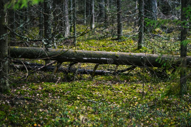 Fallen tree in the forest. Green moss and green plants grow in a wild forest on an old fallen tree. Fantasy forest, magical. Landscape stock photography