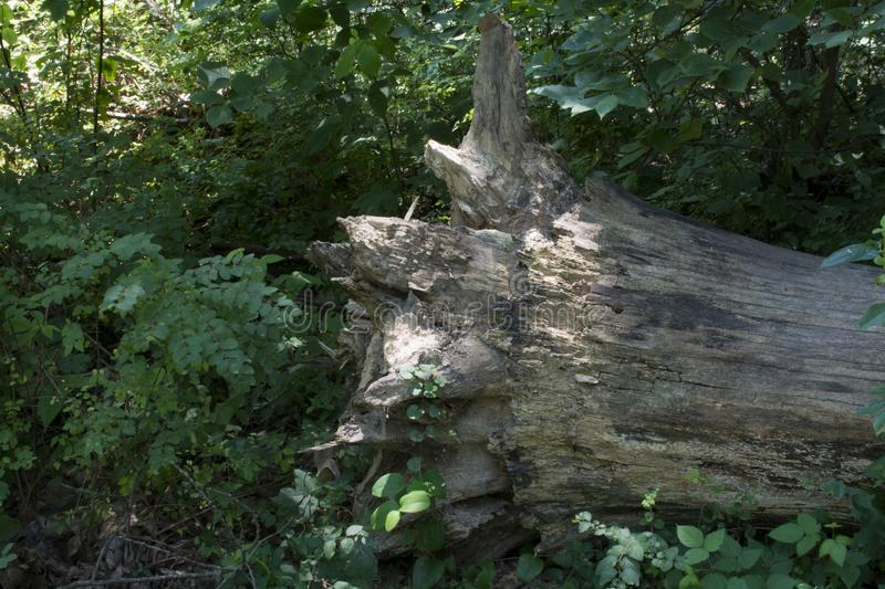 Uprooted tree with ivy. A fallen tree in he forest with ivy growing on the uprooted and exposed roots stock photos
