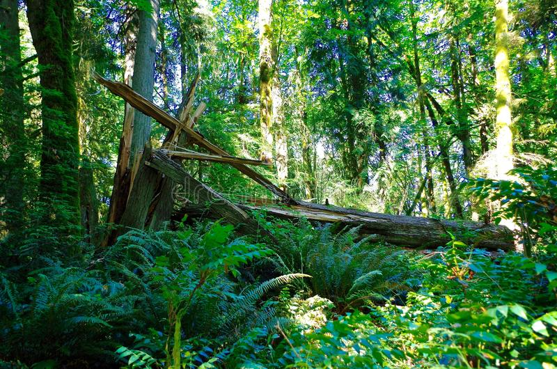 Fallen Tree. Fallen forest tree from lightning strike in Portland Oregon royalty free stock images