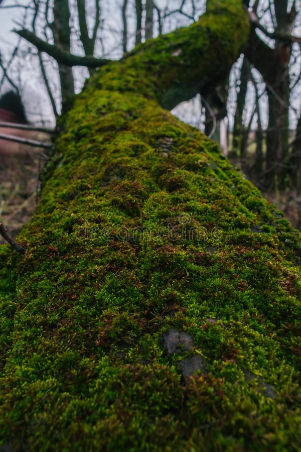 Fallen Tree in the forest at the rainy day. A moss on fallen tree royalty free stock photo